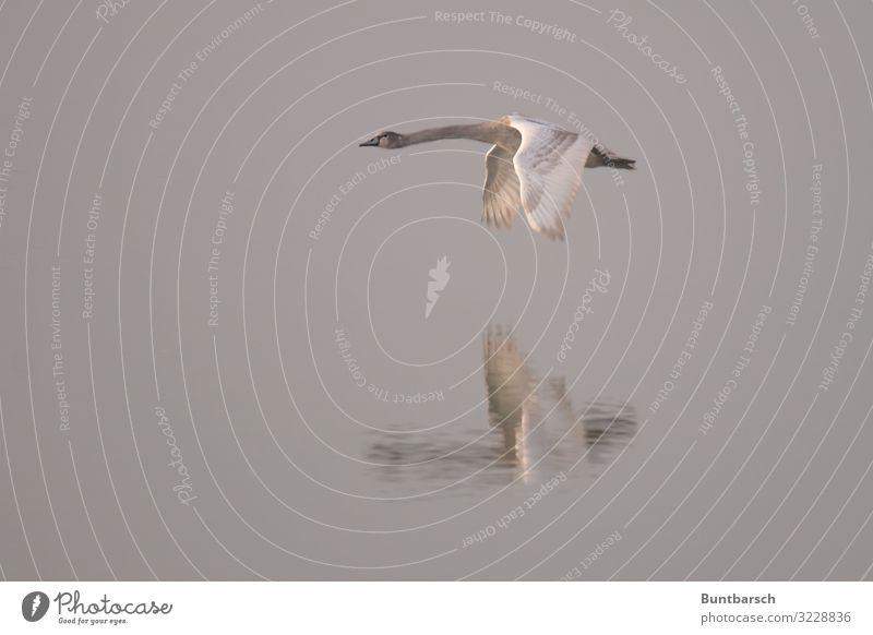 Tiefflug Umwelt Natur Tier Wasser Winter See Wildtier Vogel Schwan Flügel Feder 1 fliegen ästhetisch nass braun grau weiß Stimmung gleiten Schweben