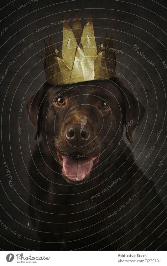 Glücklicher brauner Labrador Retriever in goldener Krone Hund Haustier Tier heimisch Reinrassig Säugetier Begleiter reinrassig Freund Kreatur züchten Vollblut