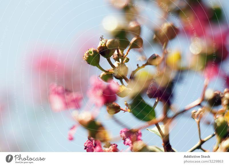 Leuchtend rote Blumen auf grünem Strauch im Garten Buchse Wachstum Natur Pflanze aromatisch Blütezeit Sommer Flora Botanik schön geblümt Blätter Park frisch