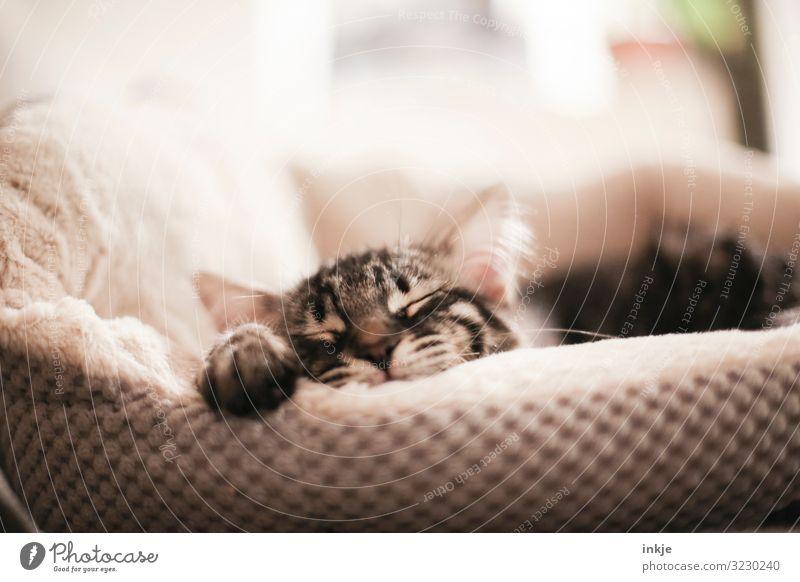 platt Häusliches Leben Haustier Katze Tiergesicht Pfote 1 Tierjunges Kissen Nest Bett genießen schlafen authentisch kuschlig klein nah niedlich weich braun