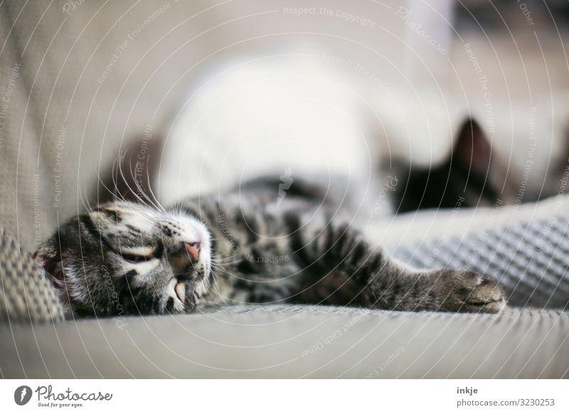 Gefühltes Wochenende Häusliches Leben Sofa Haustier Katze Tiergesicht 2 Tierjunges genießen liegen schlafen kuschlig nah niedlich weich Geborgenheit Farbfoto