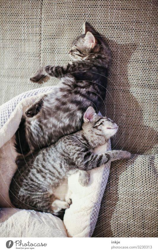 Zusammen ist man weniger allein Sofa Haustier Katze 2 Tier Tierpaar Tierjunges genießen schlafen kuschlig klein niedlich Wärme weich braun Gefühle Zufriedenheit