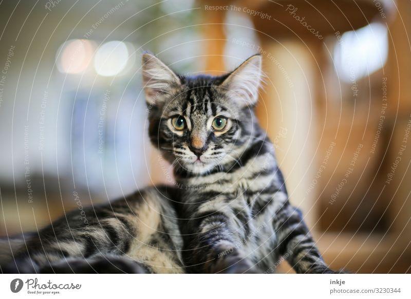 Eigenwillig Häusliches Leben Haustier Katze Tiergesicht Maine-Coon Savannah 1 Tierjunges eigenwillig Starrer Blick Willensstärke Farbfoto Innenaufnahme