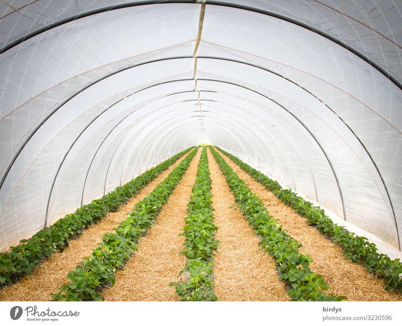 Erdbeertunnel Sommer Pflanze grün gelb Frühling grau Frucht Ernährung frisch Wachstum Erfolg authentisch Klima rund Schutz Landwirtschaft