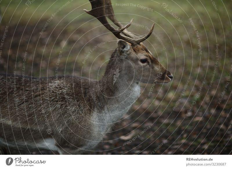 Rehbock im Herbst dammwild Wildtier Tier Außenaufnahme Natur Farbfoto Umwelt Menschenleer natürlich Tierporträt Schwache Tiefenschärfe Tiergesicht Hirsch Profil