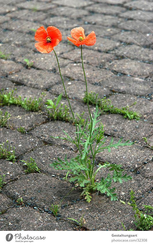 Schönheit ist überall. Blume grün grau Stein Kraft orange Bodenbelag Mohn