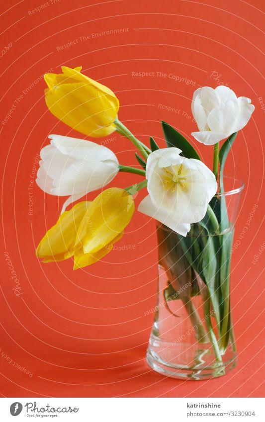 Gelb-weiße Tulpen auf rotem Hintergrund schön Muttertag Ostern Geburtstag Erwachsene Frühling Blume Blüte Blumenstrauß Liebe hell trendy gelb vae romantisch
