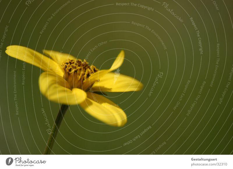 Goldkosmos (Bidens Ferulifolia) Pflanze Blume Blüte gelb grün nah schön Makroaufnahme