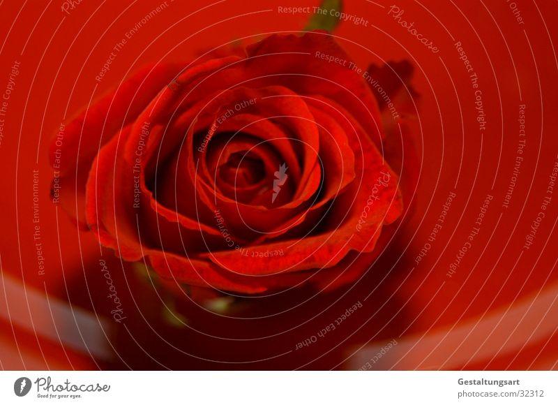 Rote Rose schön rot Pflanze Blume Blatt Blüte Rose nah Schmuck Teller edel Valentinstag