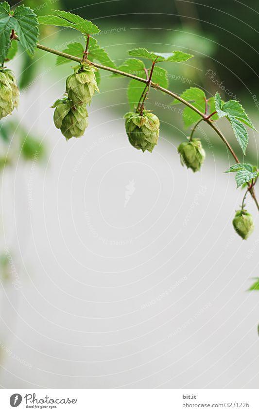 Bier oder Tee? Lebensmittel Bioprodukte Alkohol Arbeit & Erwerbstätigkeit Beruf Landwirtschaft Forstwirtschaft Umwelt Natur Pflanze Nutzpflanze hängen Hopfen