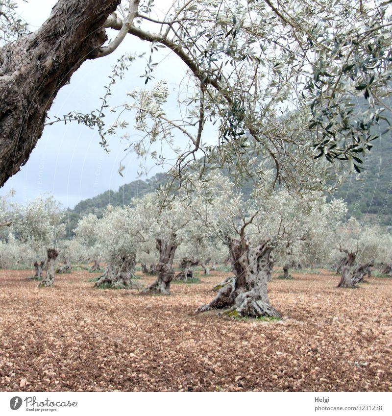 Olivenhain mit uralten knorrigen Olivenbäumen auf Mallorca Umwelt Natur Landschaft Pflanze Erde Frühling Baum Nutzpflanze Olivenbaum Berge u. Gebirge Insel