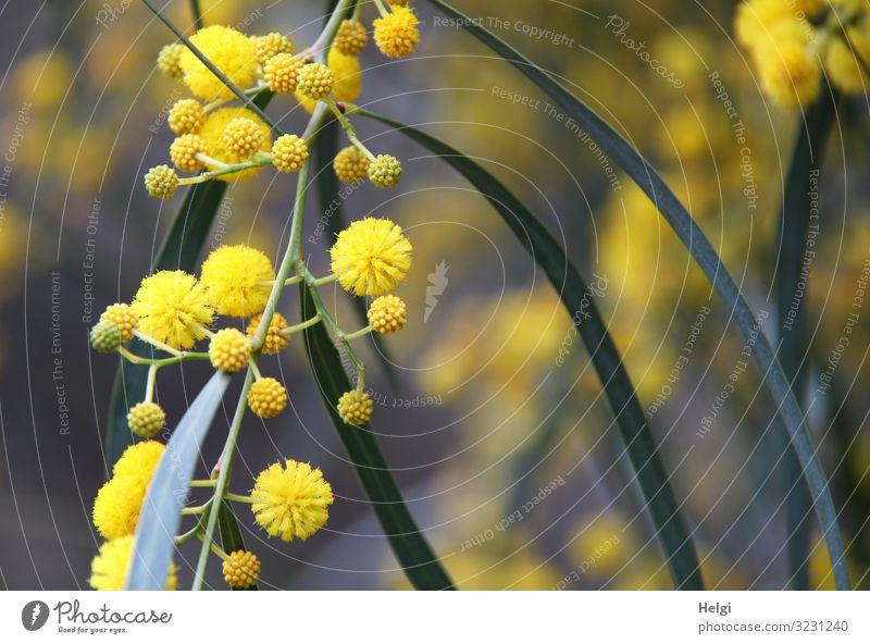 Nahaufnahme eines Zweiges mit gelben Blüten und Knospen der Mimose Ferien & Urlaub & Reisen Umwelt Natur Pflanze Frühling Schönes Wetter Blatt Mimosenzweig