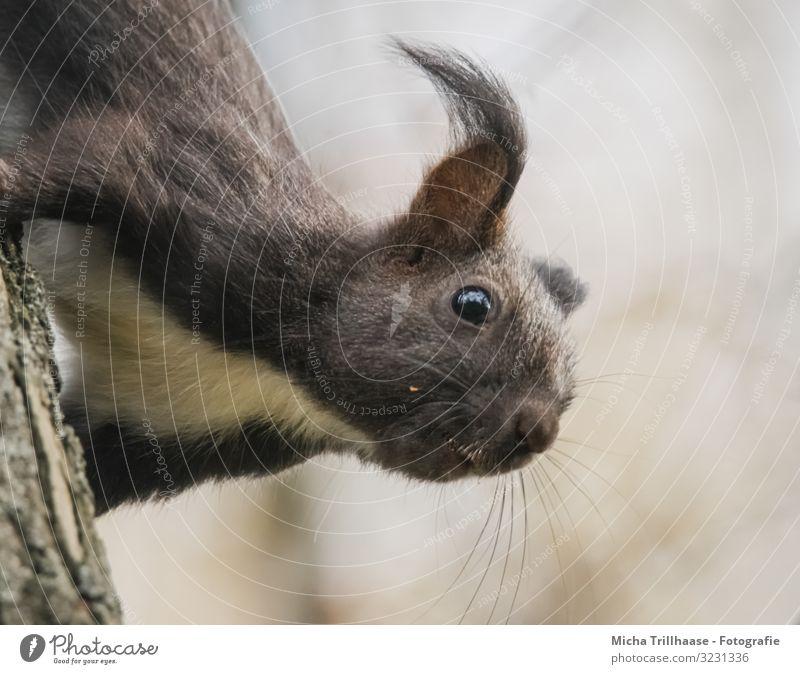 Eichhörnchen kopfüber am Baumstamm Natur Tier Sonnenlicht Schönes Wetter Wildtier Tiergesicht Fell Kopf Ohr Auge Nase Maul 1 beobachten hängen Blick nah