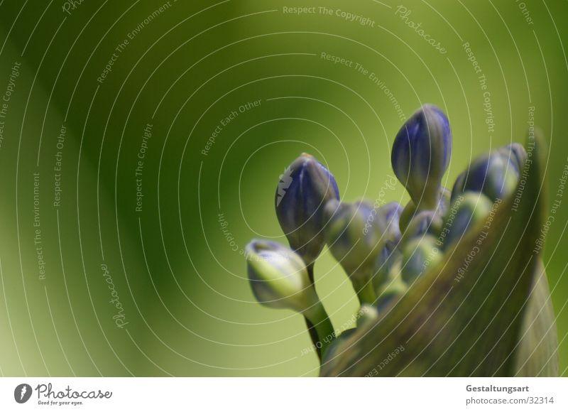 Schmucklilie 2 Lilie blau-grün nah Blume Blüte schön Pflanze geschlossen Sommer Agapanthus praecox Makroaufnahme