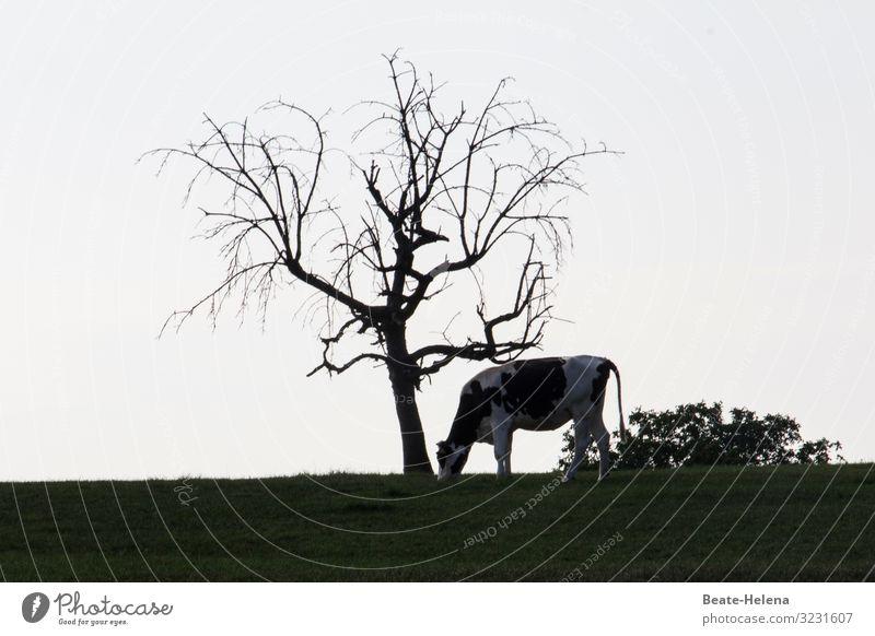 Kahler Baum mit Kuh Natur alt nackt Pflanze weiß Landschaft dunkel schwarz Gras außergewöhnlich Feld Erde Wachstum ästhetisch stehen