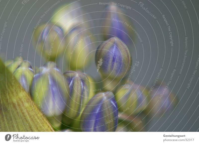 Schmucklilie 1 schön Blume Pflanze Sommer Blüte geschlossen nah Lilien blau-grün