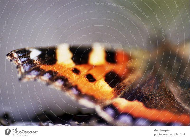 Schmetterlingsflügel Makro analog Makroaufnahme Tier Flügel Menschenleer Schwache Tiefenschärfe Insekt Detailaufnahme Nahaufnahme Natur natürlich filigran