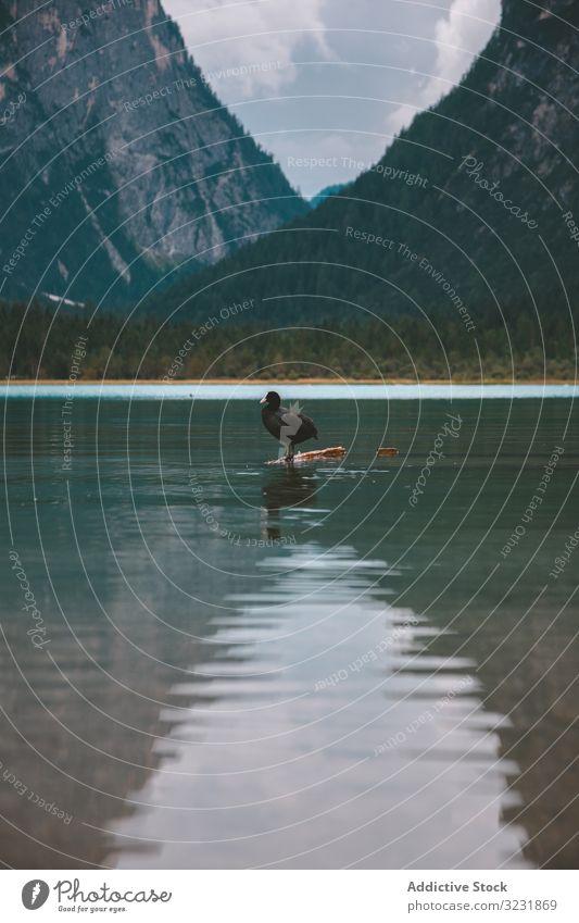 Schwarze Ente auf einem See in den Bergen Vogel Berge u. Gebirge Tal Dolomiten Wasser gefiedert schwarz Prahlerei einsam Italien Hügel tirol Teich Europa