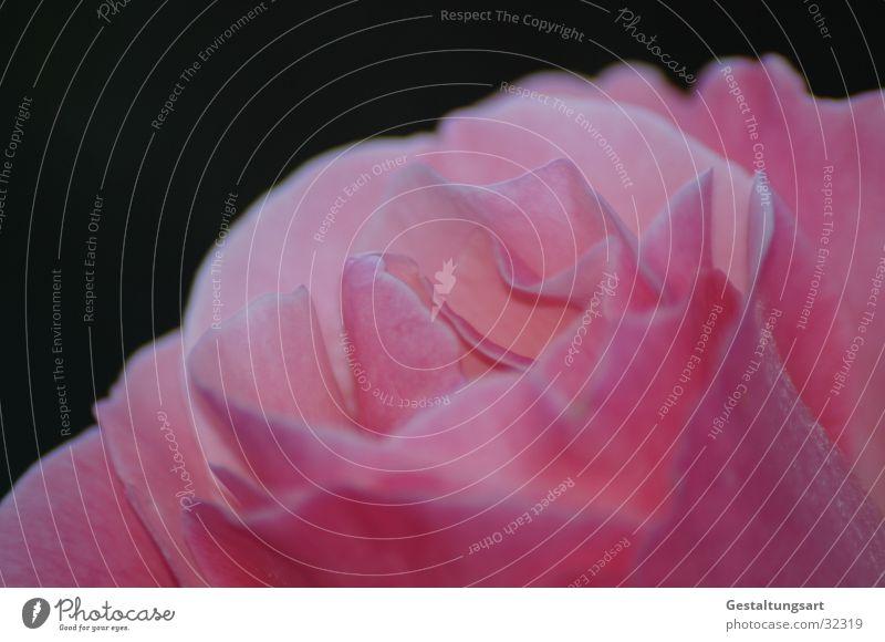 Rosa Rose II schön Pflanze Blume Blatt Blüte rosa Rose nah magenta
