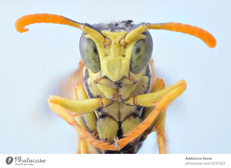 Gelbe niedliche vergrößerte Wespe mit orangefarbenen Fühlern und grünen Augen Fliege Kopf Makro Natur Insekt Detailaufnahme Vergrößerung Wanze haarig Parasit
