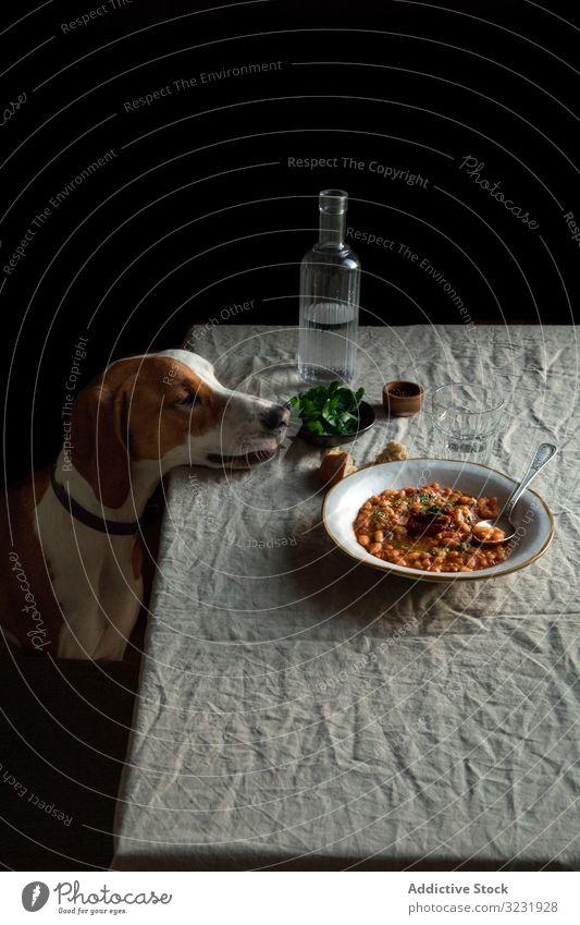 Süßer Hund am Tisch sitzend mit serviertem Essen hungrig Lebensmittel gehorsam Abendessen Haustier Mahlzeit Tier Begierde Geduld Reinrassig heimisch Eckzahn