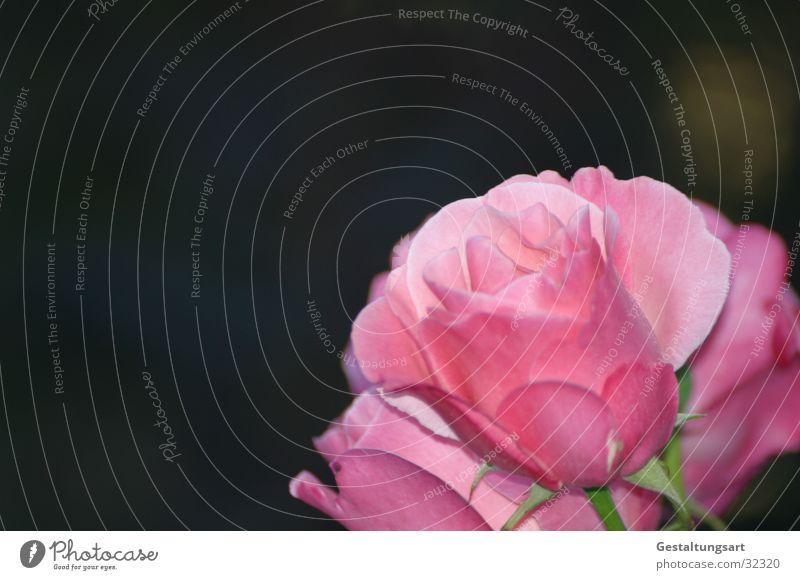Rosa Rose I rosa magenta Blume Blüte schön Pflanze nah Blatt Makroaufnahme