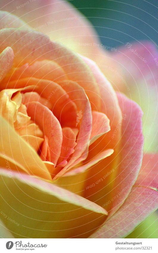 Dufte mal. Rose gelb rosa Blume Blüte Blütenblatt schön Pflanze nah Blatt Schmuck Makroaufnahme Nahaufnahme Sommer orange blau edel