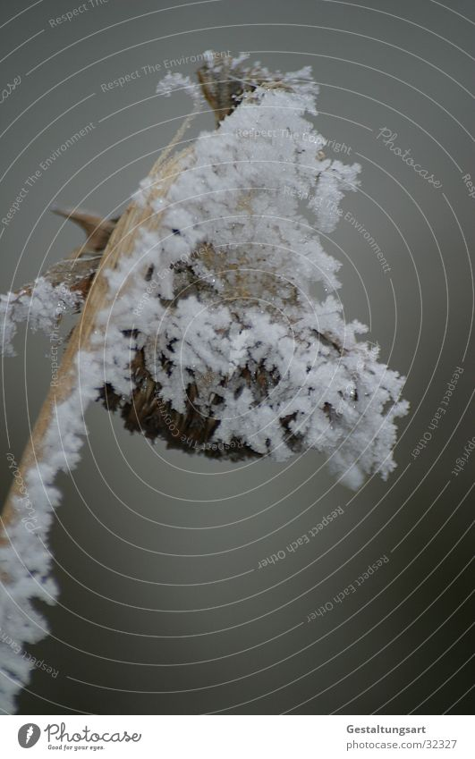Das Ende der Sonnenblume. weiß Winter Schnee Eis Sonnenblume Kristallstrukturen