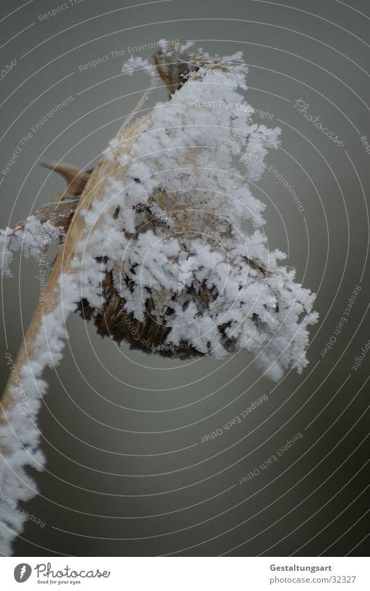 Das Ende der Sonnenblume. Winter weiß Schnee Eis Kristallstrukturen