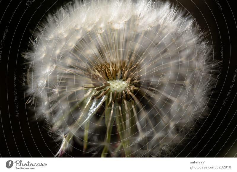Pusteblume Umwelt Natur Pflanze Frühling Sommer Blume Blüte Wildpflanze Löwenzahn Samen Garten Wiese weich Leichtigkeit Wandel & Veränderung Wege & Pfade