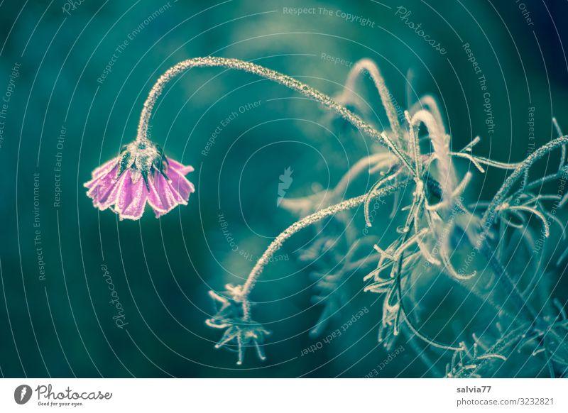 Eisblume Umwelt Natur Pflanze Herbst Winter Frost Blume Blüte Garten Blühend frieren Coolness kalt Vergänglichkeit Raureif gefroren bewegungslos Neigung