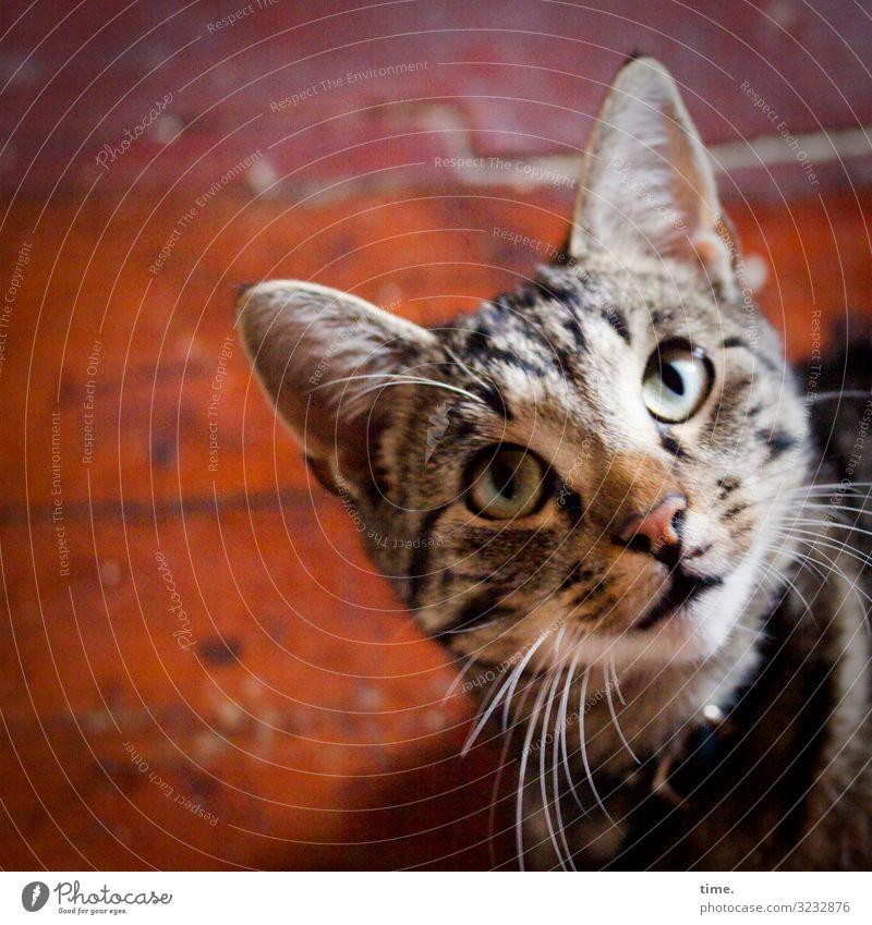 monitoring Tier Haustier Katze Tiergesicht 1 beobachten Blick warten Tatkraft Leidenschaft Wachsamkeit geduldig Leben Ausdauer Neugier Interesse Überraschung