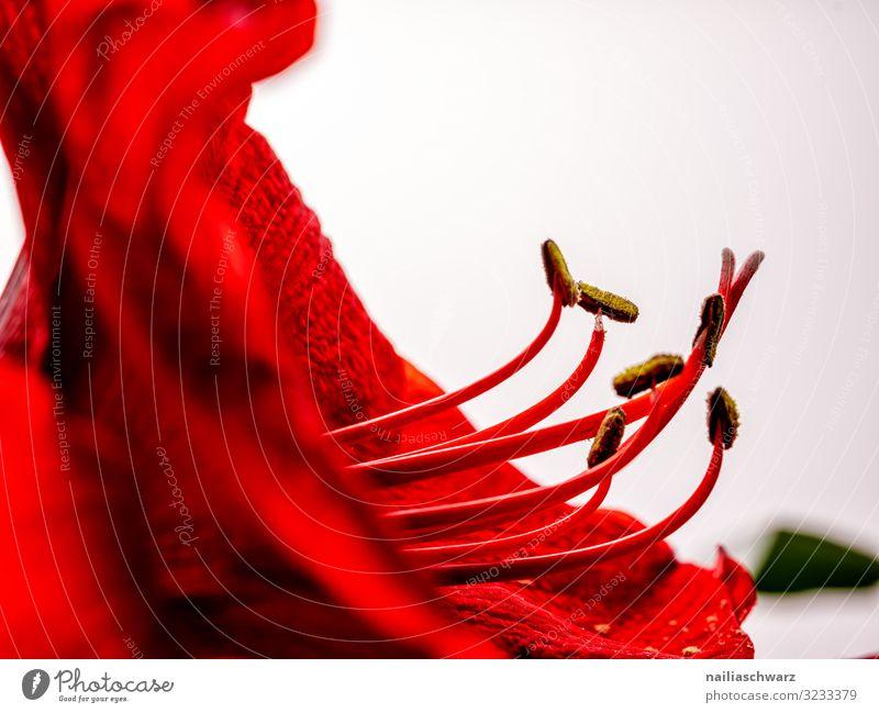 Amaryllis Lifestyle elegant Stil exotisch Pflanze Blume Blüte Amaryllisgewächse Pistil Samen Blütenstaubgefäß Blütenstempel Blühend natürlich schön rot weiß