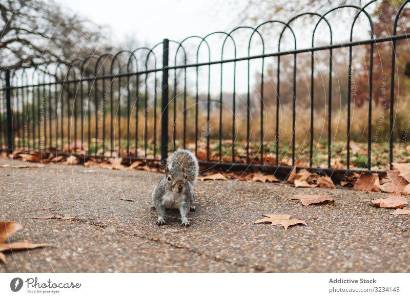 Eichhörnchen auf Herbstlaub im Park Blatt Gras Tier Natur London Windstille Rasen fallen Saison Tierwelt Säugetier Nagetiere fluffig pelzig bezaubernd niedlich