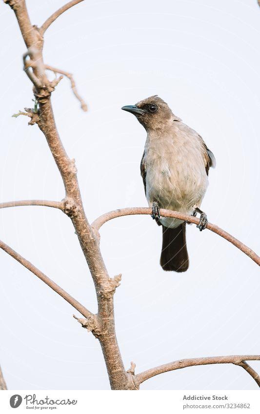 Heller Vogel auf einem Zweig sitzend Ast Wald hell Gambia Fauna Natur Arten Umwelt Tier Feder Tierwelt Federn Gefieder niemand Baum lebhaft pulsierend