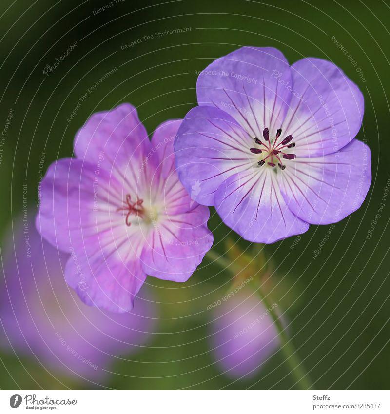Storchschnabel Umwelt Natur Pflanze Sommer Herbst Blume Blüte Blütenblatt Gartenpflanzen Gartenblume natürlich schön grün violett rosa achtsam Unschärfe