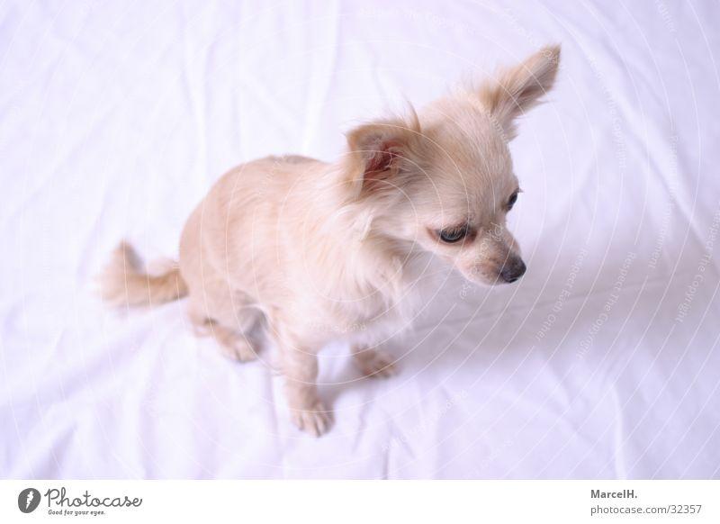 Fenia happihappi Einsamkeit Hund klein Suche süß niedlich Welpe Chihuahua Desert