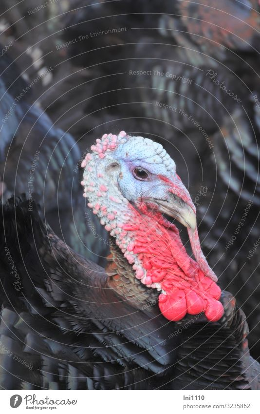 Truthahn Nutztier Vogel Tiergesicht 1 blau grau rosa rot schwarz türkis Pute prächtig außergewöhnlich exotisch Farbenspiel Metallfeder Federvieh