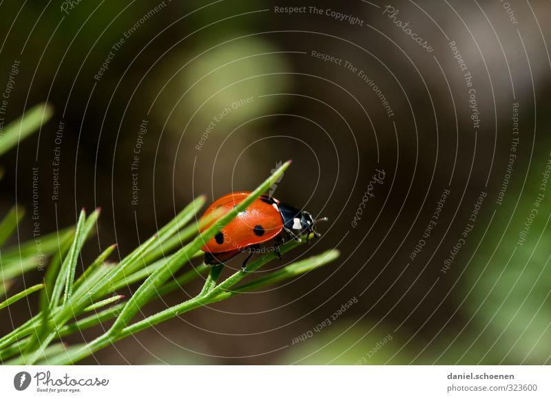 Marienkäfer von links Umwelt Natur Tier Käfer 1 positiv grün rot Glück Farbfoto Detailaufnahme Makroaufnahme Menschenleer Textfreiraum rechts Textfreiraum oben