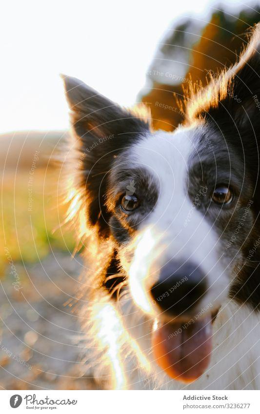 Border Collie auf der Wiese sitzend Hund Natur Borte Haustier Tier niedlich schön Gras Spaziergang Eckzahn Lifestyle Sommer grün aussruhen Landschaft weiß