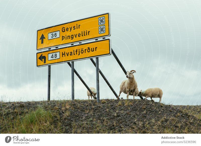 Weisse Schafe stehen am Schild am Strassenrand Rind Wegweiser Plakatwand Straße Zeichen Panel rustikal Hinweis signalisieren hölzern Holzplatte Nachricht Natur