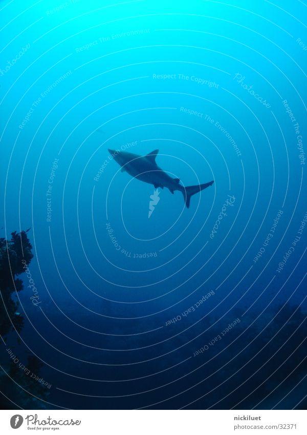 Hai Meer blau Fisch Malediven Haifisch