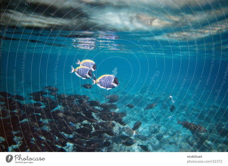 Dori Unterwasseraufnahme Findet Nemo Malediven Verkehr Fisch Wasser