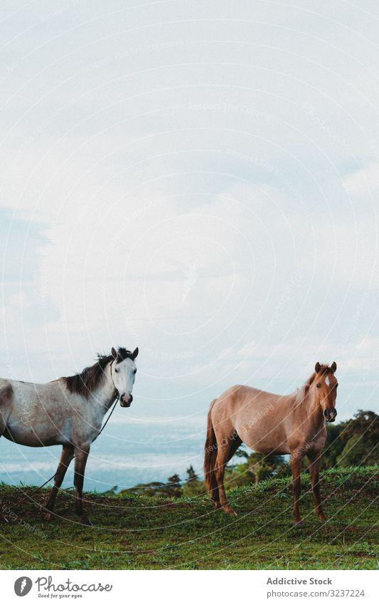 Pferde auf grünem Rasen auf dem Land Weidenutzung Wiese Straße Bauernhof Ranch Ackerland Gras Landschaft Tag Baum ländlich züchten Natur sonnig braun Rind