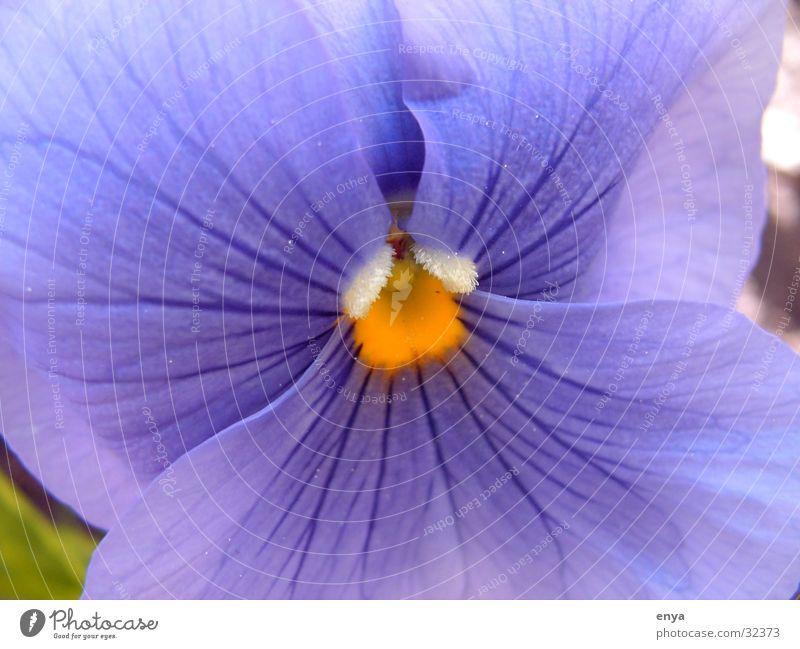 Viola Stiefmütterchen Blume Blüte Wiese violett Garten Detailaufnahme Makroaufnahme Pflanze