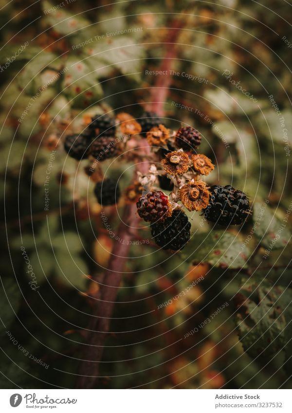 Wilde essbare reife und unreife Brombeeren am Buschzweig gegen grüne Blätter Herbst verwelkt Ast getupft Blatt rubus Strauch Waldbeere mehrjährig Botanik süß