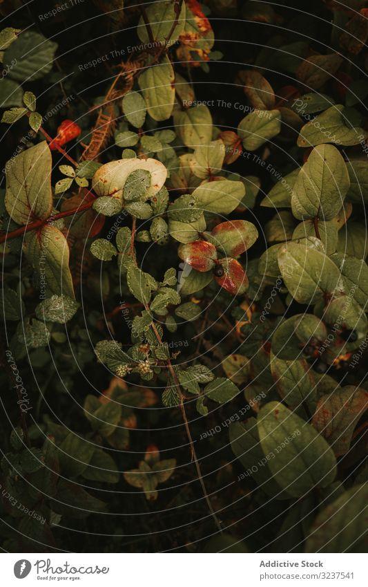 Wilde, giftige, reife schwarze Tollkirsche und unreife Brombeere auf Zweigen zwischen grünen Blättern belladonna Brombeeren Herbst Ast Giftpflanze braun essbar