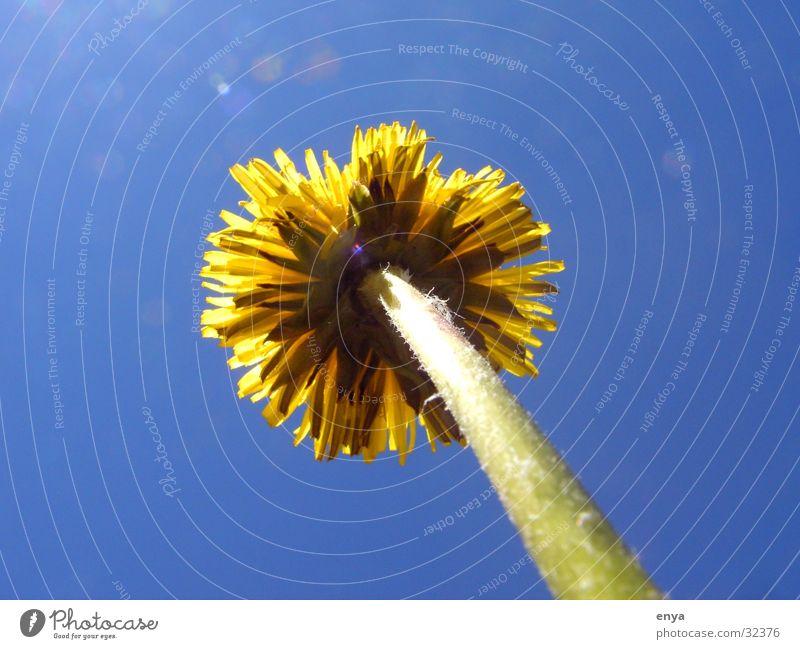 Löwenzahn Blume Wiese Blüte gelb Pflanze Garten Sonne Wurzelperspektive Baumstamm Makroaufnahme Detailaufnahme