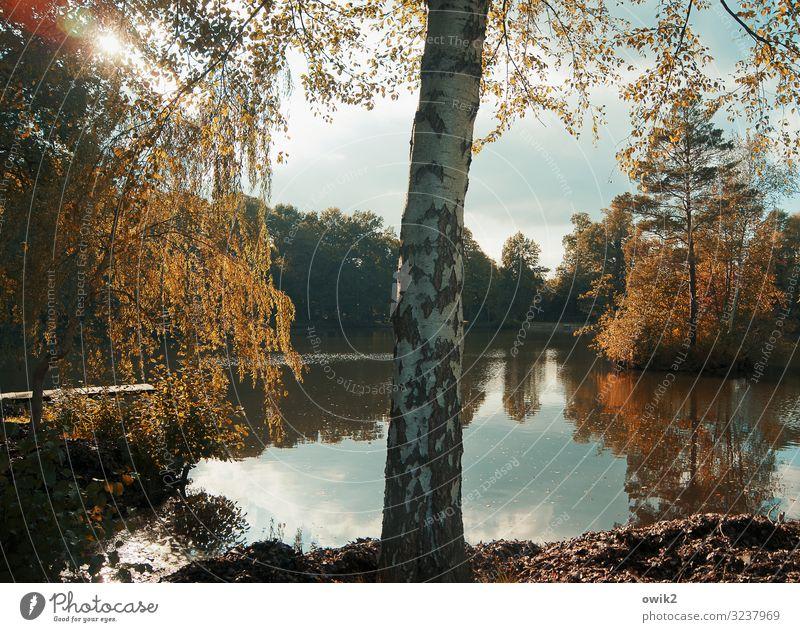 Inseldasein Umwelt Natur Landschaft Pflanze Luft Wasser Himmel Wolken Sonne Herbst Schönes Wetter Baum Sträucher Baumstamm Birke Birkenrinde Park Seeufer Teich