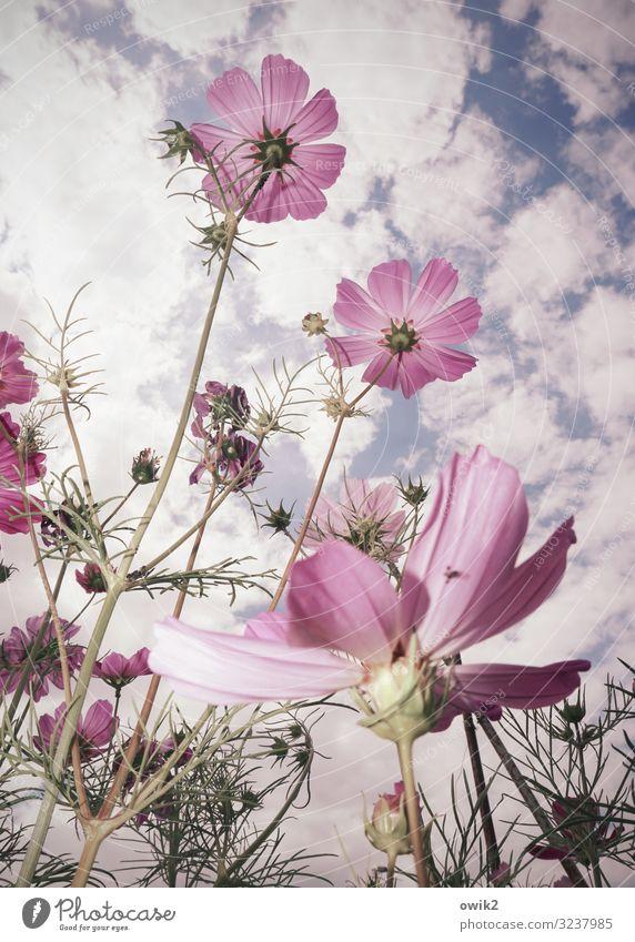 Ausgeruht Umwelt Natur Pflanze Luft Himmel Wolken Sommer Schönes Wetter Blume Blüte Wildpflanze Schmuckkörbchen Garten Wiese Bewegung Blühend schaukeln Wachstum